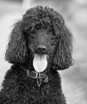 dog-220457_1280 poodle